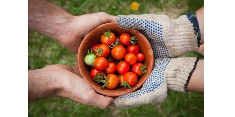 La mise en commun des tomates